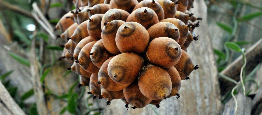 Babassu-olie een natuurlijk ingrediënt - Rio Rosa Mosqueta