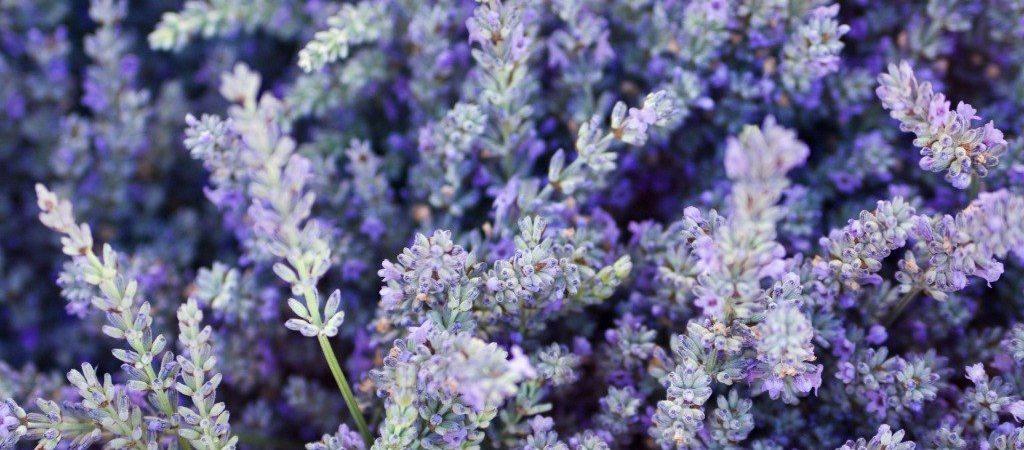 Lavendel olie natuurlijk ingrediënt   Rio Rosa Mosqueta