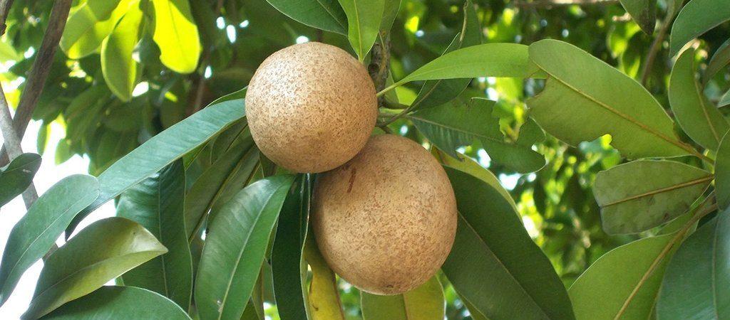 Manilkara natuurlijk ingrediënt | Rio Rosa Mosqueta