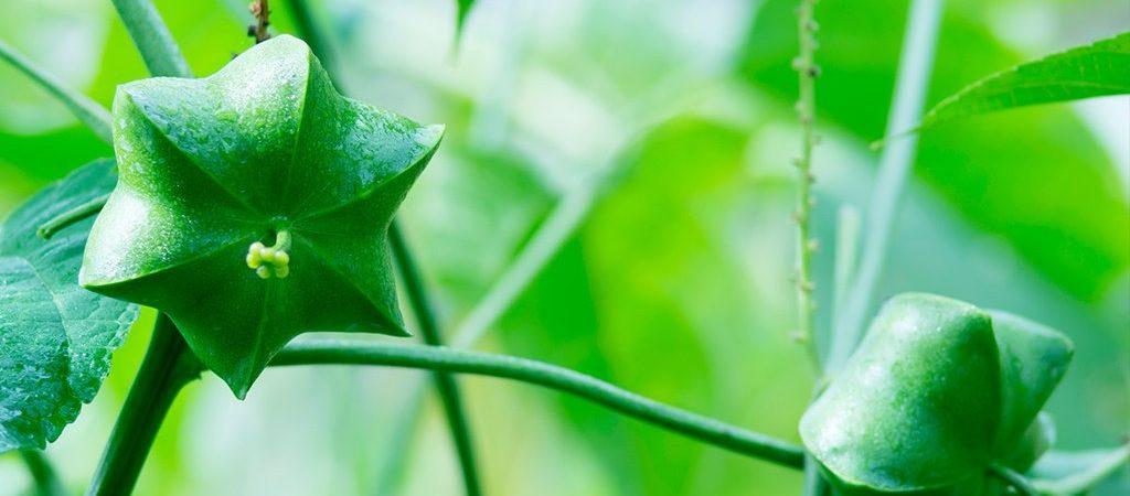Sacha Inchi natuurlijk ingrediënt - Rio Rosa Mosqueta