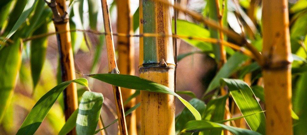 Bamboe natuurlijk ingrediënt | Rio Rosa Mosqueta